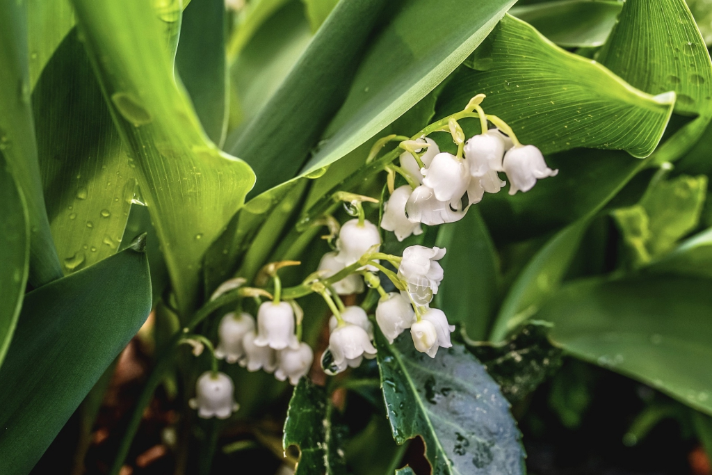 lily-of-the-valley-5109876_1920.jpg